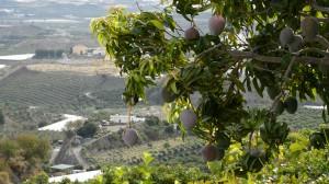 Plantación de mango Trops
