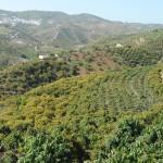 002 - Cosecha de Aguacate Hass Trops 2015