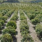 015 - Cosecha de Aguacate Hass Trops 2015