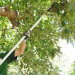 004 - Cosecha de Aguacate Hass Trops 2015