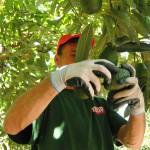 009 - Cosecha de Aguacate Hass Trops 2015