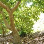 010 - Cosecha de Aguacate Hass Trops 2015