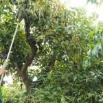 011 - Cosecha de Aguacate Hass Trops 2015