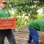 006 - Cosecha de Aguacate Hass Trops 2015