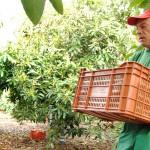 024 - Cosecha de Aguacate Hass Trops 2015