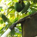 005 - Cosecha de Aguacate Hass Trops 2015