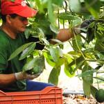 021 - Cosecha de Aguacate Hass Trops 2015