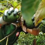 023 - Cosecha de Aguacate Hass Trops 2015