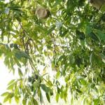 025 - Cosecha de Aguacate Hass Trops 2015