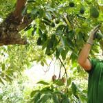 028 - Cosecha de Aguacate Hass Trops 2015