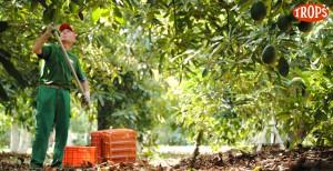 008 - Cosecha de Aguacate Hass Trops 2015