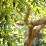 033 - Cosecha de Aguacate Hass Trops 2015