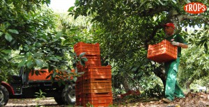 036 - Cosecha de Aguacate Hass Trops 2015