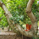 038 - Cosecha de Aguacate Hass Trops 2015