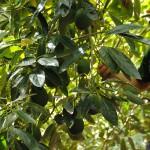 039 - Cosecha de Aguacate Hass Trops 2015