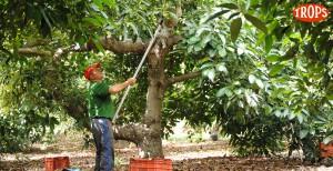 040 - Cosecha de Aguacate Hass Trops 2015