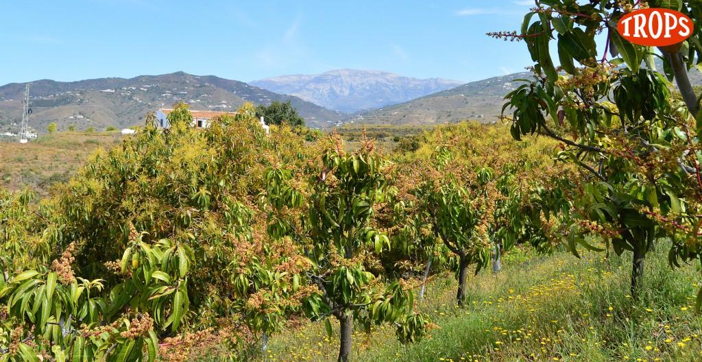 Plantación de mango y aguacate en la Axarquía malagueña